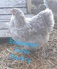 Npip/Ai Neg. 12 Standard Lavender Mottled Orpington Hatching Eggs