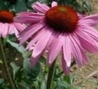Rudbeckia - Purpurea Purple - 150 Seeds