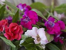Double Balsam Bush Mix 50 seeds Impatiens balsamina * Easy Grow * CombSH A88