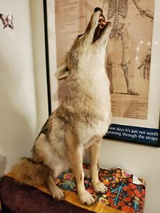 Beautiful Taxidermy Complete Coyote Mount