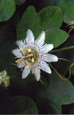 Passiflora gilbertii 10 seeds
