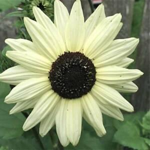 25 Italian White Sunflower Seeds