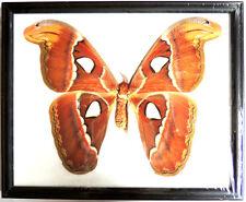 Cadre Papillons,décoration,vintage,cadeau,collection,taxidermie,cadre,