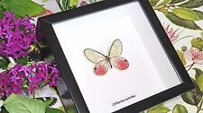 Real butterfly insect shadowbox frame for sale Cithaerias aurorina BACI