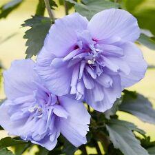 Echter Roseneibisch 'Blue Chiffon' -R- Hibiscus syriacus 3 L Topf gewachsen