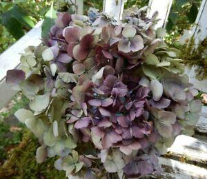 12 Dried Hydrangea Flowers Lt. Green, Cream + Burgundy Plum Wedding Farmhouse