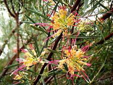 "Grevillea ""Flora Mason"" x 3 small plants. Native, flowering shrub"