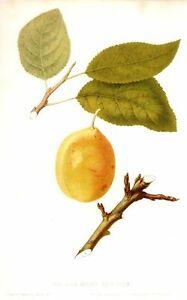 Hovey's Fruits of America -1852- COE'S GOLDEN DROP PLUM