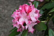 Rhododendron Mardi Gras  - #5 Container Size Plant - Hardy to -10 F
