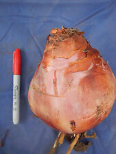 "Urginea Drimia maritima Giant Sea Squill WORLD'S LARGEST SUCCULENT BULB! 5""-6"""