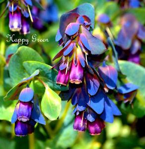 Honeywort - 35 SEEDS - Cerinthe Major Purpurascens - Blue tubular flowers