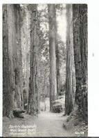 CF-257 CA Stately Redwoods Muir Woods National Monument Real Photo Postcard RPPC