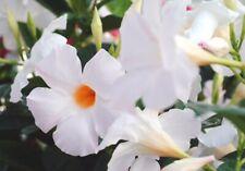 Mandevilla Giant White ~Lot of 2~ Starter Plants