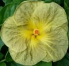 * Green Elf * Rooted Tropical Exotic Hibiscus Plant*Ships In Pot*