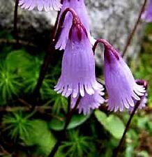 Soldanella pusilla x 15 seeds. Alpine Rock garden. Pots. Perennial Flower.