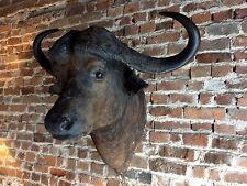 Exquisite Taxidermy Cape Buffalo Head Extremely Large Horned Superb Quality