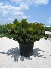 Cardboard Palm (Zamia Furfuracea) Live Seedlings Prehistoric Cycad