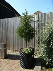 Lovely young yew tree (Taxus baccata) 105 cm tall, 60 cm wide, in 50 l air pot