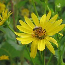 Durchwachsene Silphie 11cm Topf Silvium perfoliatum ökologisch wertvoll Bienen