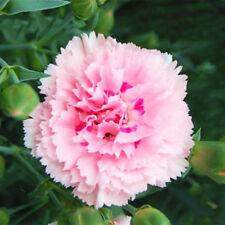 100 Seeds Rare Carnations Bonsai Plant Tree House Herb Garden Flower Pot Decor