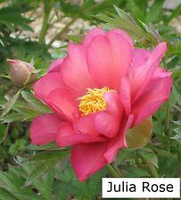 """1x ITOH PEONY """" Julia Rose """" Rare Intersectional Paeonie Paeonia Peonie Rose 6"""""""