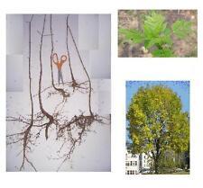 1 White Ash Tree, Fast Growing Hardwood Shade - Plan for Fall