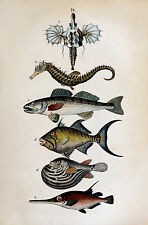 2 x Natural History Book Repro Illustration Prints of Fish 1850