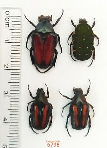 4x Cetonidae Species From Tompo bulu, S-Sulawesi (6798)