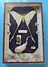 Antique Magnifique Papillon Comète XXL Argema Mittrei de Madagascar naturalisé