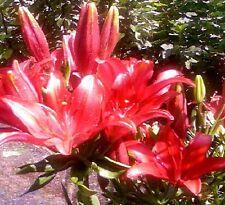 rote Super-Seerose aus den Tropen für den Gartenteich - mehrjährig - Samen Deko