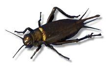 Live Black Field Crickets Extra Large BULK BAG (from Livefood UK Ltd)