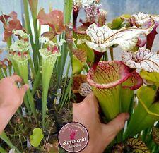 99) Pack of Sarracenia seeds 2020/2021, carnivorous plants rare