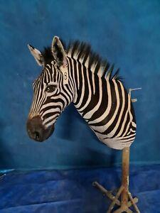 African Burchelli Zebra Shoulder Mount