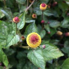 Parakresse Acmella oleracea Jambu Zahnwehpflanze Husarenknopf pikant-prickelnd