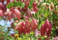 exotisch Garten Pflanze Samen winterhart Sämereien Exot Strauch BLASENSTRAUCH