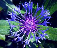 CORNFLOWER MOUNTAIN BLUET PERENNIAL Centaurea Montana - 20 Seeds