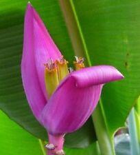 Musa Ornata, pinke Banane aus Burma, banana from Burma, 5 Samen, 5 seeds