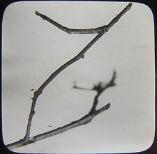 Glass Magic Lantern Slide A BRITISH STICK INSECT C1910 PHOTO