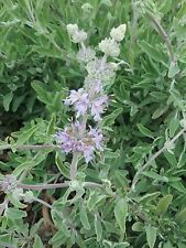 Salvia Clevelandii Bees Bliss prostrate in 50mm forestry tube perennial plant