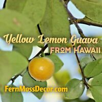 3 foot Tall * Lemon Guava Tree * ROOTED Live Plant Tropical Yellow Fruit Hawaii