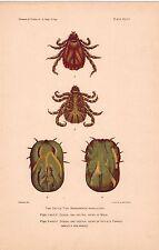 "Cattle Ticks, Cow Diseases Agriculture, 6x9 1/2 "" Color Plate Farm Animal Health"