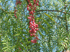 pepper, California Tree, Schinus molle, pink Peppercorn, 22 seeds! GroCo