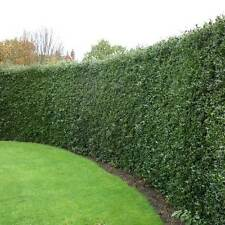 25 English Holly (Ilex) Common Evergreen Hedging Plants Prickly Pot Grown e273