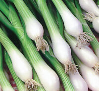 onion, WHITE LISBON,  green bunching onion or SCALLION, 370 SEEDS! GroCo USA