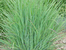 Switchgrass Native Grass Seed - 1 Lb PLS (Pure Live Seed)