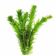 Elodea densa oxigenación de plantas tropicales acuario tallos 20 y 20 pesos de planta
