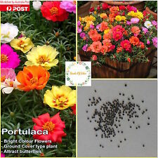 "50 PORTULACA ""Double Mixed"" Seeds (Portulaca oleracea), Ideal for pots & garden"