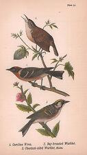 Carolina Wren Bay Chestnut Warbler BH Warren 1890 Antique Color Print Matted