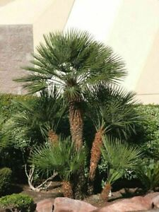 Hardy Moroccan Palm Tree Tropical Garden Outdoor Evergreen Plant 3L Pot