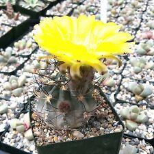 Acanthocalycium Glaucum Cactus Cacti Succulent Real Live Plant